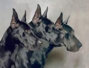 danes cropped ears